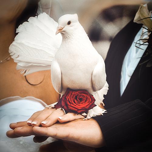 Hochzeitsfotograf Dresden mit einer indischen schneeweißen Pfauentaube von Hochzeitstauben Dresden®